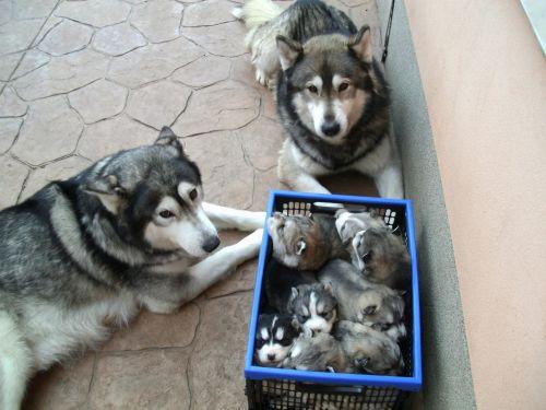 Sakhalin Husky Puppies for sale in Jacksonville, FL, USA. price -USD
