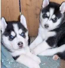 Sakhalin Husky Puppies for sale in Los Angeles, CA, USA. price -USD