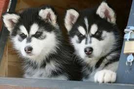 Sakhalin Husky Puppies for sale in San Antonio, TX, USA. price 380USD