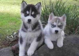 Sakhalin Husky Puppies for sale in San Antonio, TX, USA. price -USD