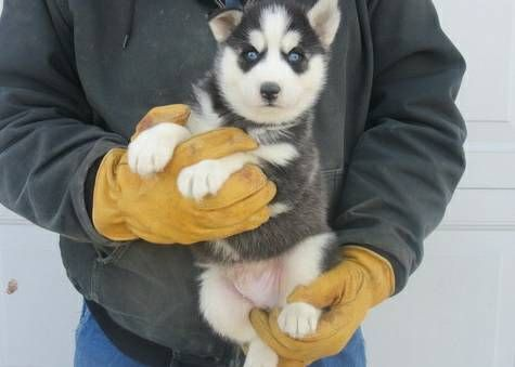 Sakhalin Husky Puppies for sale in Louisville, KY 40204, USA. price -USD