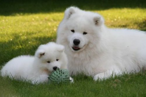 Samoyed Puppies for sale in San Francisco, CA, USA. price 600USD