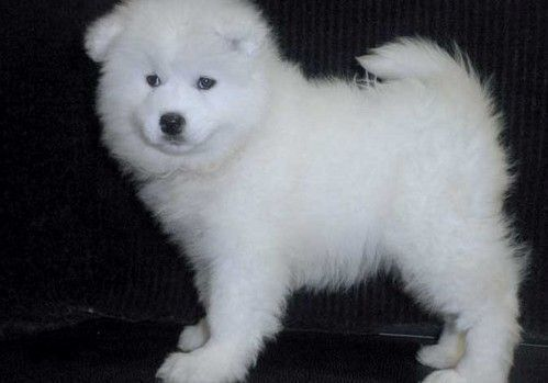 Samoyed Puppies for sale in San Francisco, CA 94158, USA. price 500USD