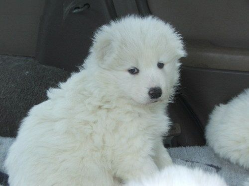 Samoyed Puppies for sale in Glasgow, KY 42141, USA. price -USD
