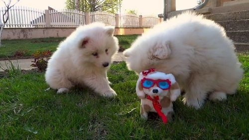 Samoyed Puppies for sale in Los Angeles, CA, USA. price -USD
