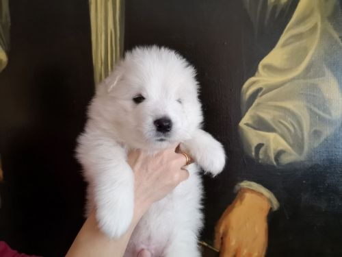 Samoyed Puppies for sale in FL-113, Jacksonville, FL, USA. price 500USD