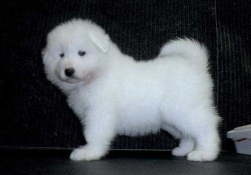 Samoyed Puppies for sale in Los Angeles, CA, USA. price 600USD