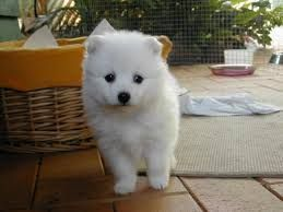 Samoyed Puppies for sale in Los Angeles, CA 90001, USA. price -USD