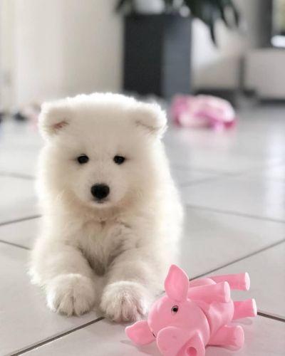Samoyed Puppies for sale in Phoenix, AZ, USA. price -USD