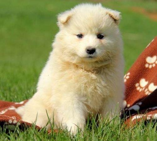 Samoyed Puppies Sale Kingsport Tn 1174 Hoobly Us