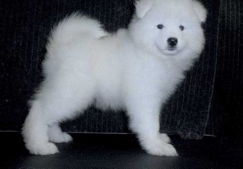 Samoyed Puppies for sale in Cape May, NJ 08204, USA. price 400USD