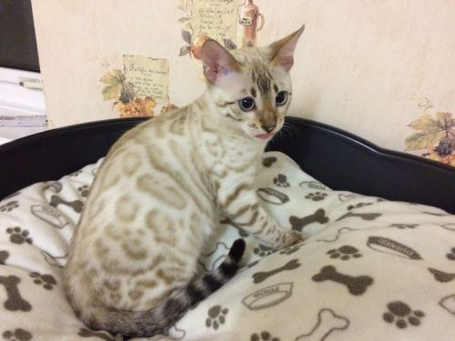 Savannah Cats for sale in Ohio Dr SW, Washington, DC, USA. price 8500USD