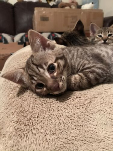 Savannah Cats for sale in Mentor, OH 44060, USA. price 2500USD