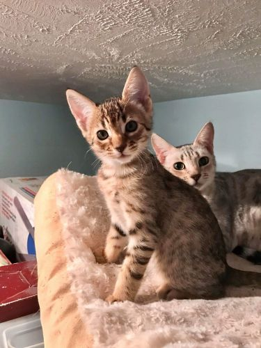 Savannah Cats for sale in Mentor, OH 44060, USA. price -USD