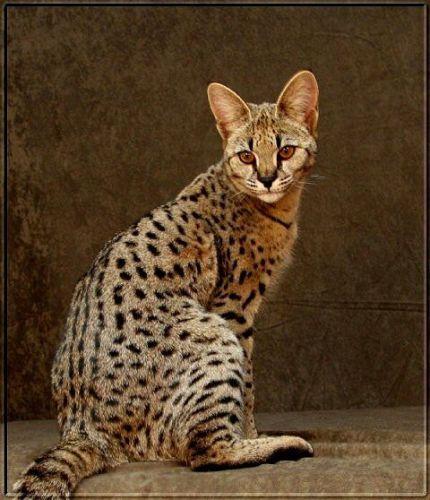 Savannah Cats for sale in Ohio Dr SW, Washington, DC, USA. price -USD
