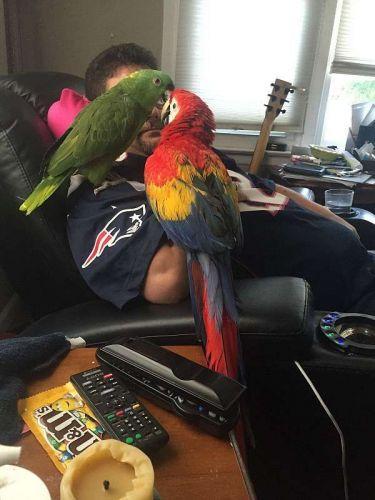 Scarlett Macaw Birds for sale in San Francisco, CA 94105, USA. price 500USD