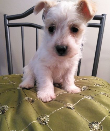 Schnauzer Puppies for sale in Fenton, MI, USA. price 300USD