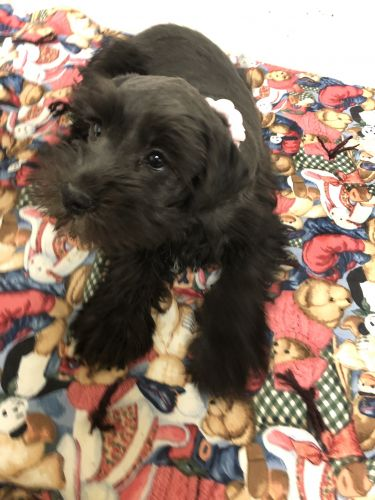 Schnauzer Puppies for sale in Charleston, WV, USA. price -USD