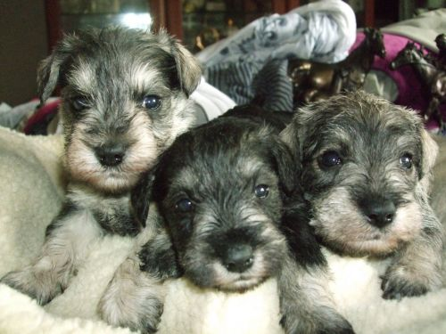 Schnauzer Puppies for sale in NV-592, Las Vegas, NV, USA. price 300USD