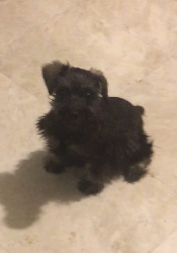 Schnauzer Puppies for sale in Phoenix, AZ, USA. price 500USD