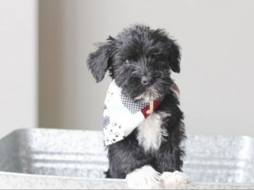 Schnoodle Puppies for sale in Gillette St, Sheridan, WY 82801, USA. price 700USD
