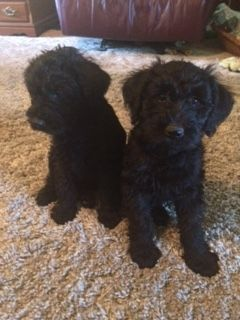 Schnoodle Puppies for sale in Salem, IL, USA. price 400USD