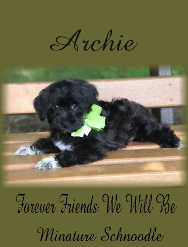 Schnoodle Puppies for sale in Brimfield Township, OH, USA. price -USD
