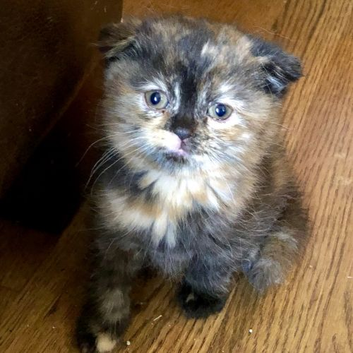 Scottish Fold Cats for sale in Reidsville, NC 27320, USA. price 1200USD