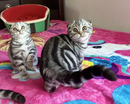 Scottish Fold Cats for sale in Brooklyn, NY, USA. price 1800USD