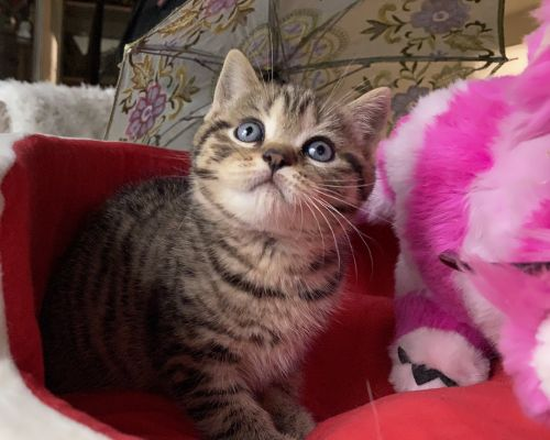 Scottish Fold Cats for sale in Staten Island, NY, USA. price 1300USD