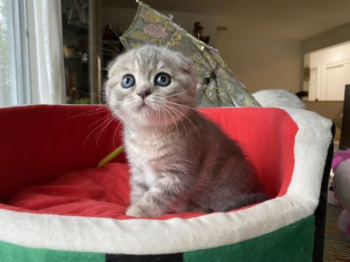 Scottish Fold Cats for sale in Staten Island, NY, USA. price 1800USD