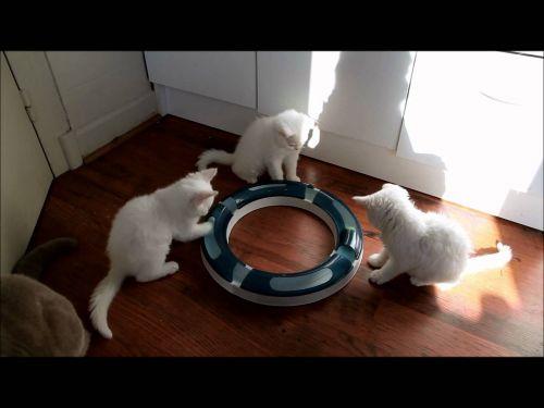 Sealyham Terrier Puppies for sale in Arizona Mills, Tempe, AZ 85282, USA. price -USD