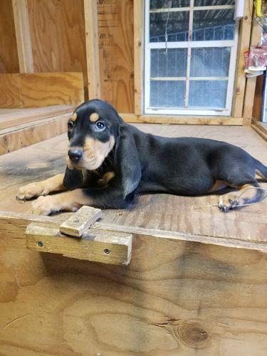 Segugio Italiano Puppies for sale in North Tonawanda, NY 14120, USA. price 600USD