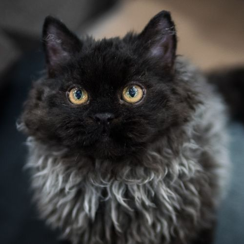 Selkirk Rex Cats for sale in Sevierville, TN, USA. price 800USD