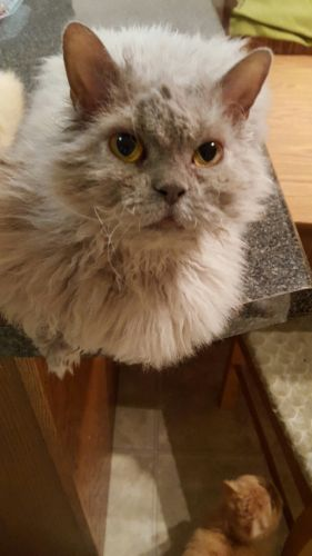 Selkirk Rex Cats for sale in Sevierville, TN, USA. price 700USD