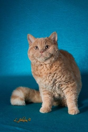 Selkirk Rex Cats for sale in Sevierville, TN, USA. price 150USD