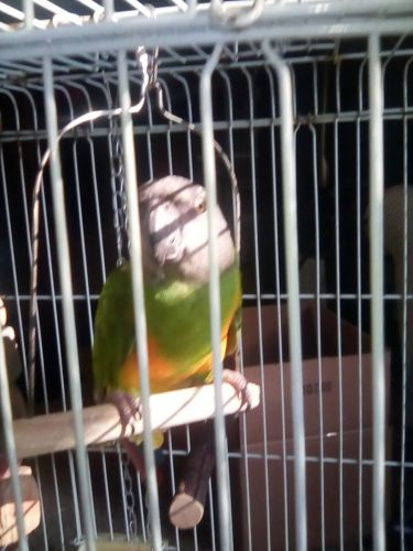 Senegal Parrot Birds for sale in Cleveland, TX, USA. price 500USD
