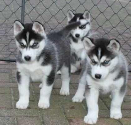 Seppala Siberian Sleddog Puppies for sale in Jacksonville, FL, USA. price 45USD