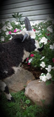 Sheep Animals for sale in Orrville, OH 44667, USA. price 150USD
