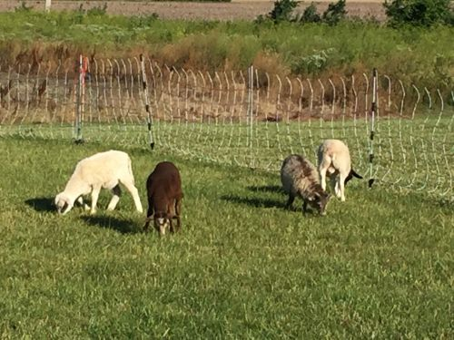 Sheep Animals for sale in Cloverdale, OH 45827, USA. price 125USD