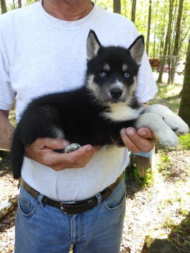 Shepherd Husky Puppies for sale in Wilmington, NC, USA. price 600USD
