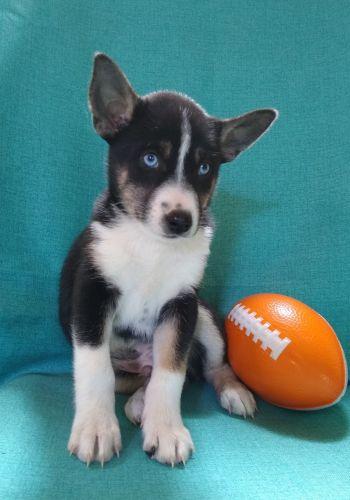 Shepherd Husky Puppies for sale in Birch Run, MI 48415, USA. price 350USD
