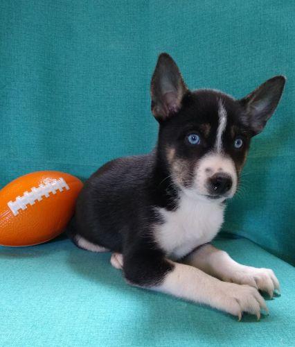 Shepherd Husky Puppies for sale in Birch Run, MI 48415, USA. price 300USD
