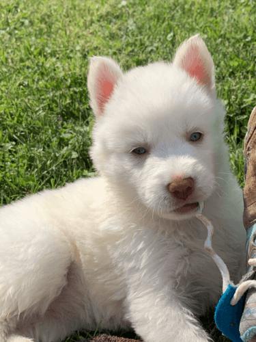 Shepherd Husky Puppies for sale in Louisville, KY, USA. price -USD
