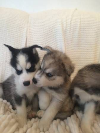 Shepherd Husky Puppies for sale in Charlotte, NC, USA. price 500USD