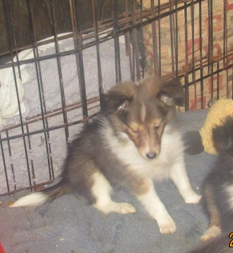 Shetland Sheepdog Puppies for sale in Rochester, NH, USA. price 650USD