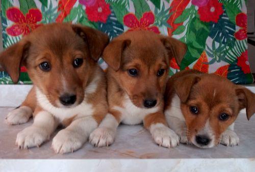Shetland Sheepdog Puppies for sale in Clio Rd, Clio, MI, USA. price 300USD