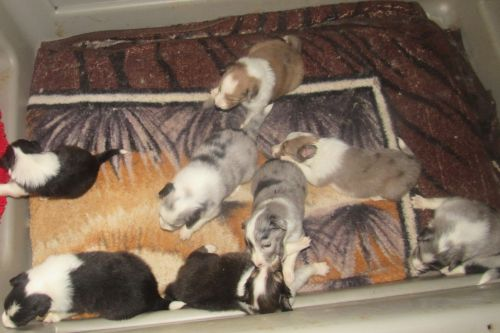 Shetland Sheepdog Puppies for sale in Rochester, NH, USA. price 800USD