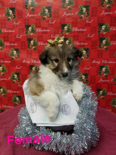 Shetland Sheepdog Puppies for sale in 3100 Boardwalk Dr, Saginaw, MI 48603, USA. price 599USD