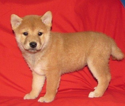 Shiba Inu Puppies for sale in Los Angeles, CA, USA. price 300USD